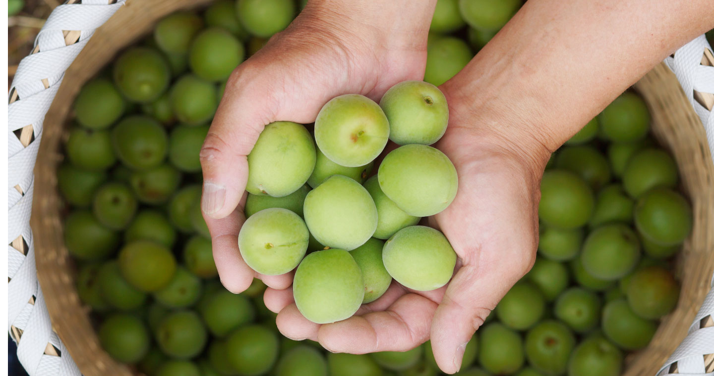 無農薬生梅の収穫画像