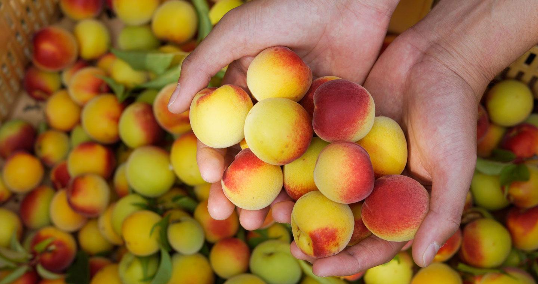 無農薬完熟梅の大きさ